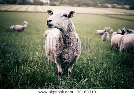 A Sheep Staring Into The Camera