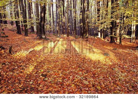 view from autumnal hardwood forest - european beechs (fagus sylvatica)