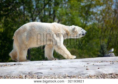 Polar Bear Walking