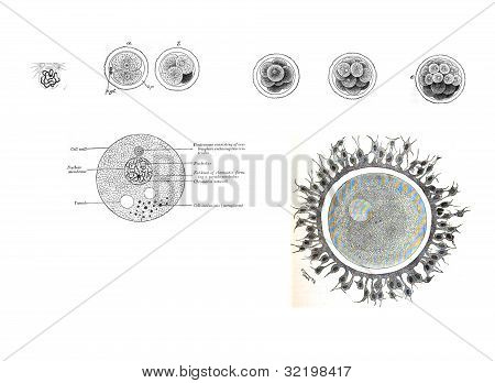 8 Views Of Human Fetal Development,