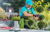 Caucasian Professional Gardener Trimming Decorative Trees In A Garden. Landscaping Industry. poster