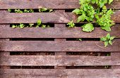 Texture Of A Wet Wooden Pallet. Wet Pallet And Wild Plant Growing Through It poster
