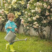 Gardening Activity With Little Kid. Flower Rose Care And Watering. Child Working In Garden Near Flow poster
