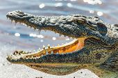 Closeup Of Resting Nile Crocodile With Opened Mouth Showing Teeth In Chobe River, Botswana Safari Wi poster