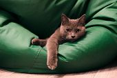 Young British Blue Shorthair Cat On A Green Chair Bag. Gray Cat Lying With Dangling Paw. poster