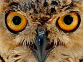 stock photo of owl eyes  - owls eyes - JPG