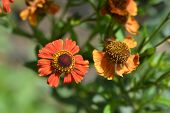 Sneezeweed Red Glory Flower - Latin Name - Helenium Red Glory poster