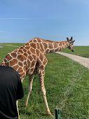 Giraffe Waling On Grass By Rocky Path poster