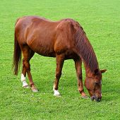 Grazing Brown Horse On The Green Field. Brown Horse Grazing Tethered In A Field. Horse Eating In The poster