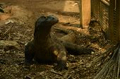 A View Of A Komodo Dragon In An Animal Enclosure poster
