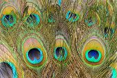 Peacock Tail Feathers. Colorful Feathers In Tail With Eyes, Close-up. Background And Texture For You poster