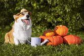 Photo Of A Purebred Corgi Dog Wearing A Village Hat Near A Pumpkin poster