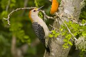 Golden-Fronted Woodpecker Has An Orange For A Meal poster