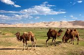 image of mongol  - camels on oasis and sand dune desert  - JPG