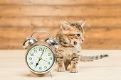 Bengal Breed Kitten And A Retro Alarm Clock That Shows 7 Hours poster