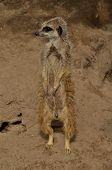 A View Of An Alert Meerkat Standing Upright In A Wildlife Park Enclosure. poster
