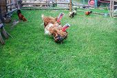 Pair Of Turkeys On Green Pasture. Domestic Birds On Lawn At Farm poster