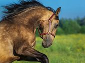 Portrait of moving golden dun Purebred Andalusian horse.  poster
