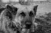 13 Years Old Purebred German Shepherd Portrait Shot On Natural Afternoon Light In Black And White. poster