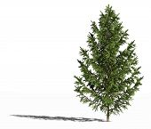 European Spruce. Picea Abies Or European Spruce Or Norway Spruce Isolated On White Surface With Shad poster
