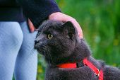 Little Child Stroking A British Blue Shorthair Cat In Harness. Purebred Gray Cat And Kid Outdoors. poster