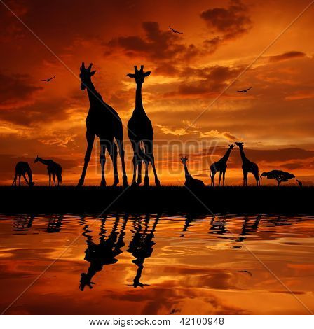 herd of giraffes in the sunset