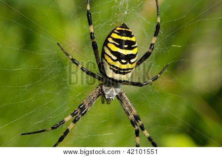 Closeup Vespa Spider Argiope Bruennichi teia de aranha