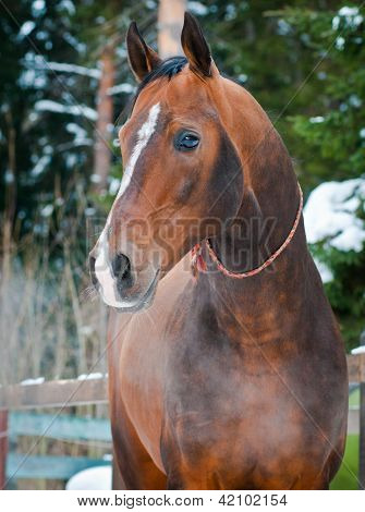 Bay horse on winter's paddock