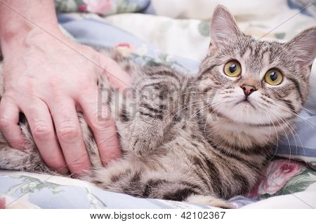 Human hand pets a Scottish-straight gray beautiful cat