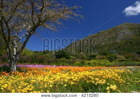 Spring In Kirstenbosch