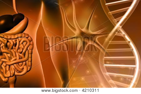 Human Digestive System And Dna