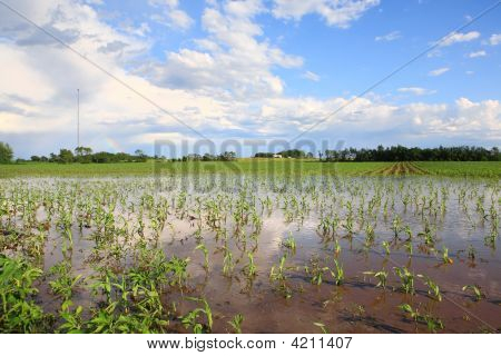 Flooded Cornfield In The Midwest, After A Severe Thunderstorm