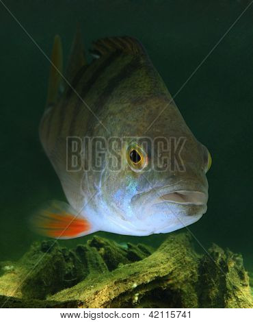 Underwater photo of The European Perch (Perca fluviatilis).