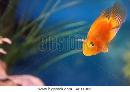 Gold Fish Aquarium