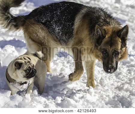 German Shepherd and Pug in the snow