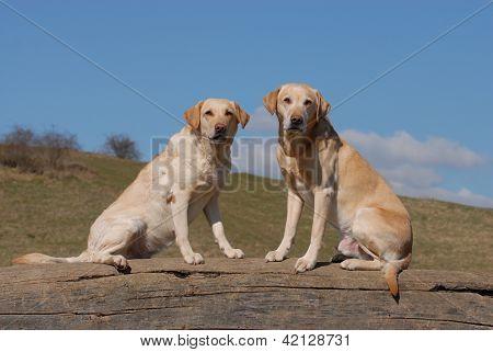 Two Labrador retriever