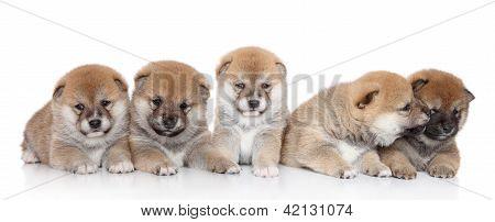 Shibainu Puppies On A White Backgroud