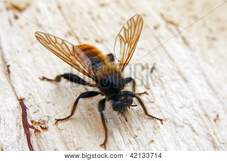 Portrait of robber-fly