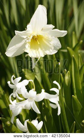 Daffodil Flower In Leavy Green Back