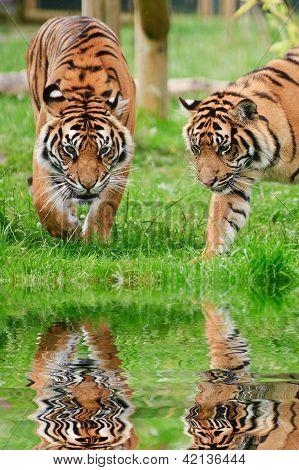 Portrait Of Sumatran Tigers Panthera Tigris Sumatrae Big Cat Reflected In Calm Water