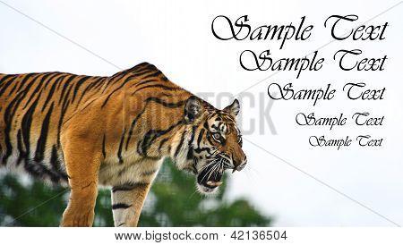 Portrait Of Sumatran Tiger Panthera Tigris Sumatrae Looking Into Blank White Copyspace