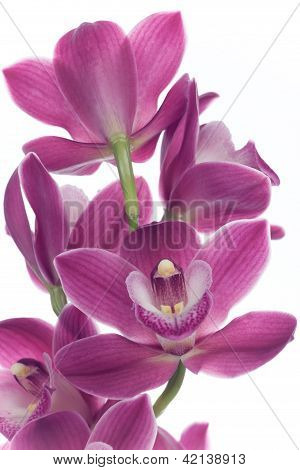 Orchid Flowers Over White (cymbidium Sp)