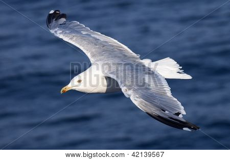 Beautiful white seagull flying over deep blue waves