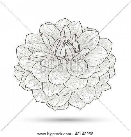 Dahlia Flowers Drawing Dahlia Vector Drawing