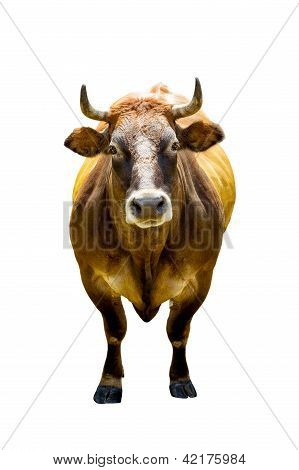 Front View Of Brown Cow Isolated