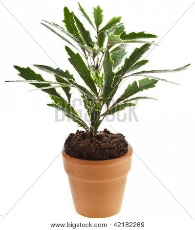 Decorative plant in flower pot  isolated on white background