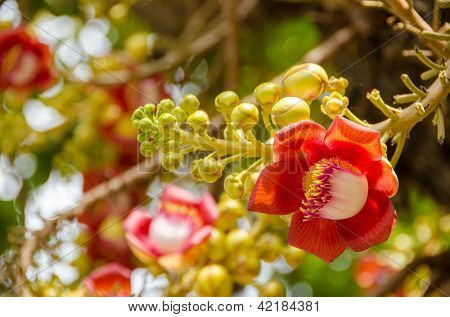 Cannonball Tree - flowers