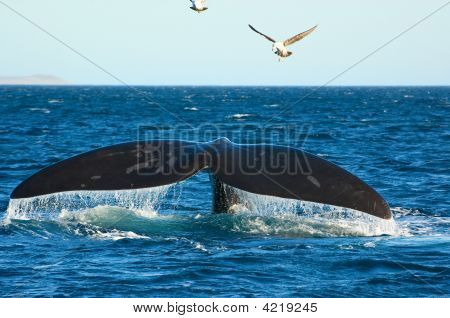 Southern Right Whale In Patagonia, Argentina.