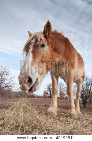 Wide angle image of a Belgian draft horse eating hay in pasture in winter
