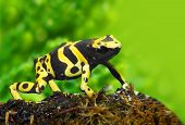 stock photo of rainforest animal  - The poison dart frog Dendrobates leucomelas in a rainforest - JPG